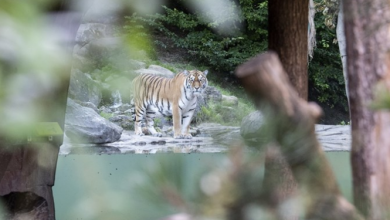 Photo of Сибирски тигар уби чуварка во зоолошката во Цирих