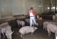 Photo of Во завршна фаза категоризацијата на одгледувалиштата на свињи
