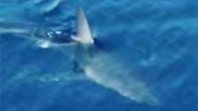 Photo of ВИДЕО | Внимавајте доколку летувате во Хрватска: Снимена ајкула во плитките води на Корчула