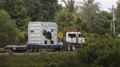 Photo of ВИДЕО: Најосамениот слон на светот доби ново живеалиште во Камбоџа