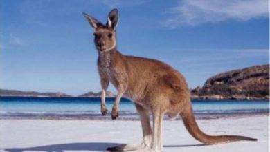 Photo of Откриена слика од кенгур стара 17.300 години во Австралија