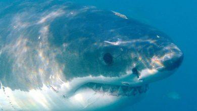 Photo of Ајкулите биле на прагот на изумирање пред 19 милиони години – причината и денес непозната?!