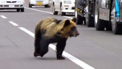 Photo of Мечка влезе во град во Јапонија и нападна луѓе